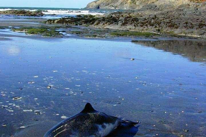 Delfín varado en la costa de Inglaterra